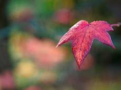 Autumn glow (Karsten Gieselmann) Tags: 75mmf18 apertureblending blätter em1markii herbst mzuiko microfourthirds natur olympus textur autumn fall kgiesel leaf leaves m43 mft nature texture