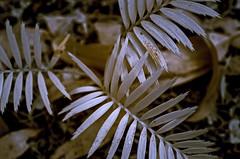 Silver trio (OzzRod) Tags: pentax k5 fullspectrumconversion ir infrared plant burrawong macrozamia seedling fronds closeup uncropped barraggabay hoyar72 720nm pentaxart