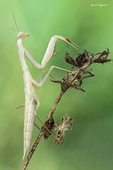 Mantis religiosa (Raul Espino) Tags: 2019 canon100mml canon6dmarkii macro macrofotografia natural naturaleza sevilla heliconfbtube canon insectos