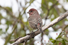 Haemorhous mexicanus (RubénRamosBlanco) Tags: naturaleza nature animales wildlife aves birds housefinch haemorhousmexicanus haemex camachuelomexicano macho male otoño fall belleislemarshreservation boston mass usa