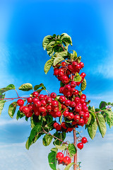 Apples (enneafive) Tags: blue red sky tree leaves fruit small fujifilm appels polination xt2 affinityphoto