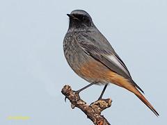 Colirrojo tizón (Phoenicurus ochuros) (21) (eb3alfmiguel) Tags: aves passeriformes insectívoros turdidos turdidae colirrojo tizón phoenicurus ochuros