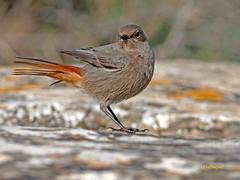 Colirrojo tizón (Phoenicurus ochuros) (33) (eb3alfmiguel) Tags: aves phoenicurus passeriformes tizón turdidae colirrojo turdidos ochuros insectívoros