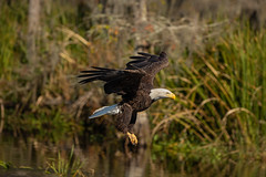 The Eagle Hasn't Landed (Andrew G Robertson) Tags: bald eagle bird louisiana bayou mandalay national wildlife nature reserve