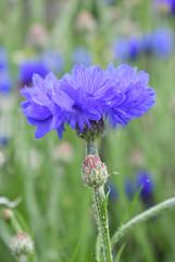 Cornflower (MJ Harbey) Tags: flower cornflower centaureacyanus bachelorsbutton eudicot asteraceae sissinghurst sissinghurstcastlegardens cranbrook kent nikon d3300 nikond3300 blueflower