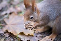 found a nut (Frau Koriander) Tags: squirrel eichhörnchen rodent nager nagetier animal tier nuss walnuss eichhörnchenmitnuss nature fauna natur urbannature waldfriedhofdarmstadt darmstadt details closeup eichhörnchenganznah ganznah nikond750 nikkor8020028