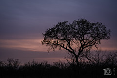 Dawn in the Kruger Park (Paul Perton) Tags: fuji krugerpark southafrica talamati zeiss35mmf14distagonxpro2 morning shadow silhouette sky sunrise tree
