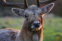 Buck at Sunrise (andy_AHG) Tags: wildlife autumn stag fallowdeerbuck antlers animals nikond300s yorkshire ruttingseason