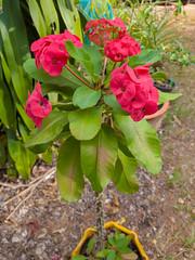 Euphorbia milii Des Moul. Euphorbiaceae-Crown of thorns, โป๊ยเซียน 17e (SierraSunrise) Tags: thailand isaan esarn phonphisai nongkhai plants flowers euphorbiaceae euphorbia thorny spiny thorns