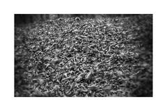 November Leaves (GR167) Tags: autumn fall november blackcorners simple blackandwhite monochrome minimalism minimist simplicity leaves holgadigital holga holgalens canon6d