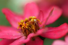 pink zinnia (Christine_S.) Tags: pinkflowers floralphotography canoneosm5 ef100mmf28l zinnias bokeh closeup macro japan garden flowers blossoms mirrorless summer ngc npc