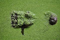 Green (Hugo von Schreck) Tags: hugovonschreck green grün alligator mehlis landkreisschmalkaldenmeiningen thüringen germany europe canoneos5dsr fantasticnature tamron28300mmf3563divcpzda010