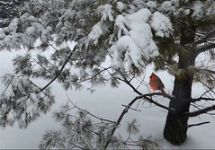 After the Snowfall (scilit) Tags: snow snowfall tree branches firtree bird cardinal winter scenery landscape nature animal