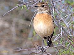 Tarabilla europea (Saxicola rubicola)  (21) (eb3alfmiguel) Tags: aves passeriformes insectívoros turdidos turdidae tarabilla europea saxicola rubicola