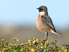 Tarabilla europea (Saxicola rubicola)  (1) (eb3alfmiguel) Tags: aves passeriformes insectívoros turdidos turdidae tarabilla europea saxicola rubicola