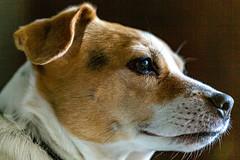 6M7A8383 (hallbæck) Tags: pippi hund dog hunhund bitch dansksvenskgårdhund danishswedishfarmdog mh hørsholm denmark canoneos5dmarkiii ef100mmf28lmacroisusm portrait mycanonandme animal