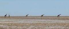 Namibia - Etosha (peterkaroblis) Tags: namibia etosha landschaft landscape tiere animals giraffe