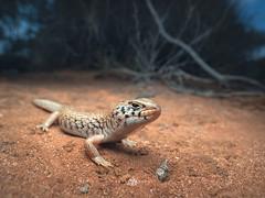 Desert skink (Liopholis inornata) (Kristian Bell) Tags: desert skink reptile lizard wild animal wildlife australia nsw sony kristian bell laowa