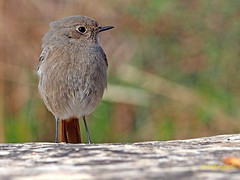 Colirrojo tizón (Phoenicurus ochuros) (31) (eb3alfmiguel) Tags: aves passeriformes insectívoros turdidos turdidae colirrojo tizón phoenicurus ochuros