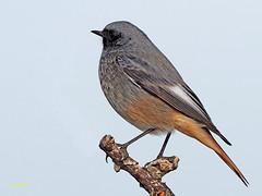 Colirrojo tizón (Phoenicurus ochuros) (26) (eb3alfmiguel) Tags: aves passeriformes insectívoros turdidos turdidae colirrojo tizón phoenicurus ochuros