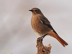 Colirrojo tizón (Phoenicurus ochuros) (16) (eb3alfmiguel) Tags: aves passeriformes insectívoros turdidos turdidae colirrojo tizón phoenicurus ochuros