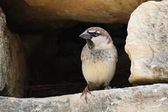 Spanish Sparrow (Roy Lowry) Tags: spanishsparrow passerhispaniolensis bugibba