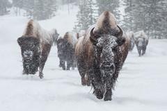Winter Wonderland in Yellowstone Photo Workshop (Wild Planet Photo Magazine) Tags: basic
