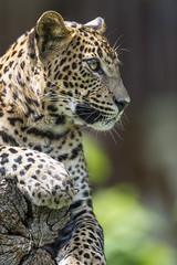 Leopardess posing on the log (Tambako the Jaguar) Tags: leopard big wild cat female leopardess cute profile portrait face posing log holding paw branch tree close bratislava zoo slovakia nikon d5