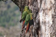 Birds of Patagonia (beyondhue.) Tags: burrowing parrot patagonia bird wildlife chile beyondhue south america