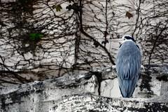 looking sideways (Sat Sue) Tags: olympus micro four thirds m43 penf japan fukuoka zoo bird heron