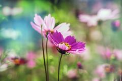 cosmea (Liudmila Dmitrieva) Tags: cosmea cosmos bipinnatus bright colorful flower meadow nature natural light bokeh beautiful beautyinnature botanical fresh tender dreamy