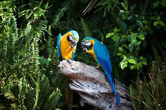 (Carlos Santos - Alapraia) Tags: arara nature canon natureza ngc ave flickrcentral animalplanet birdwatcher wonderfulworld fantasticnature ourplanet unlimitedphotos highqualityanimals bird pássaro aveexótica