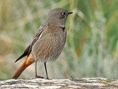 Colirrojo tizón (Phoenicurus ochuros) (34) (eb3alfmiguel) Tags: aves passeriformes insectívoros turdidos turdidae colirrojo tizón phoenicurus ochuros