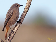 Colirrojo tizón (Phoenicurus ochuros) (11) (eb3alfmiguel) Tags: aves passeriformes insectívoros turdidos turdidae colirrojo tizón phoenicurus ochuros