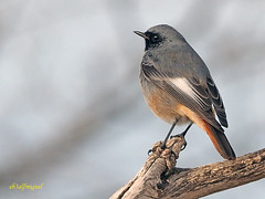 Colirrojo tizón (Phoenicurus ochuros) (6) (eb3alfmiguel) Tags: aves passeriformes insectívoros turdidos turdidae colirrojo tizón phoenicurus ochuros