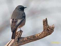 Colirrojo tizón (Phoenicurus ochuros) (1) (eb3alfmiguel) Tags: aves passeriformes insectívoros turdidos turdidae colirrojo tizón phoenicurus ochuros
