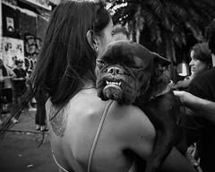 pugs and kisses (gro57074@bigpond.net.au) Tags: bwworldwithnikon pet f80 guyclift street streetphotography monochromatic monotone monochrome mono 2470mmf28 tamron d850 nikon stphotographia blackwhite bw sydney november2019 newtownstreetfestival newtown marystreet dog pug pugsandkisses