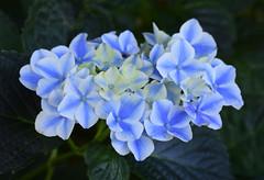 Hydrangea (MJ Harbey) Tags: hydrangea blueflower flower hortensia eudicot cornales hydrangeaceae france brittany parcbotaniquedecornouaille nikon d3300 nikond3300