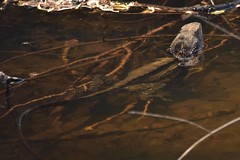 Eastern Water Dragon (Luke6876) Tags: easternwaterdragon waterdragon lizard reptile animal wildlife australianwildlife nature