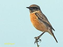 Tarabilla europea (Saxicola rubicola)  (28) (eb3alfmiguel) Tags: aves passeriformes insectívoros turdidos turdidae tarabilla europea saxicola rubicola