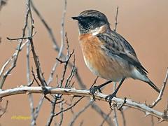 Tarabilla europea (Saxicola rubicola)  (27) (eb3alfmiguel) Tags: aves passeriformes insectívoros turdidos turdidae tarabilla europea saxicola rubicola