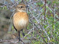 Tarabilla europea (Saxicola rubicola)  (16) (eb3alfmiguel) Tags: aves passeriformes insectívoros turdidos turdidae tarabilla europea saxicola rubicola