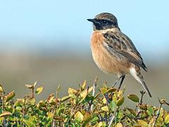 Tarabilla europea (Saxicola rubicola)  (6) (eb3alfmiguel) Tags: aves passeriformes insectívoros turdidos turdidae tarabilla europea saxicola rubicola
