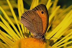 20190710_337c (novofotoo) Tags: augenfalter butterfly edelfalter falter grosesochsenauge insekten lepidoptera makro maniolajurtina natur nature nymphalidae schmetterling tagfalter tiere animals insects macro