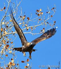 November 14, 2019 - A golden eagle takes flight. (Bill Hutchinson)