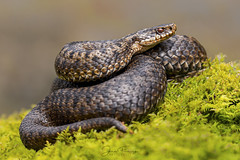 Adder (Vipera berus) (Mr F1) Tags: wild snake adder johnfanning venomous uk nature wildlife reptile outdoors naturalhistory moss detail shallow dof vipera berus