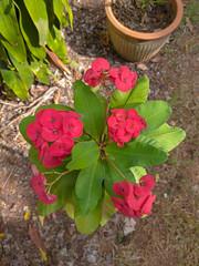 Euphorbia milii Des Moul. Euphorbiaceae-Crown of thorns, โป๊ยเซียน 13e (SierraSunrise) Tags: plants flowers thailand isaan esarn nongkhai phonphisai euphorbiaceae euphorbia spiny thorny red