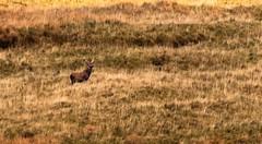 Scottish wildlife highlands (ranjo sheikh) Tags: uk travel mycanon deer scottishhighlands scotland canonuk lovenature nature wildlifephotography wildlife