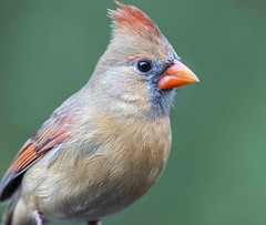 Young Northern Cardinal (Yer Photo Xpression) Tags: ronmayhew northerncardinal red bird nature birdwatching canon tamron coth5