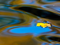 Leaf (Karen_Chappell) Tags: leaf one yellow water pond nature park autumn fall maple reflections reflection bowringpark stjohns canada atlanticcanada avalonpeninsula november abstract blue green colours colour color floating